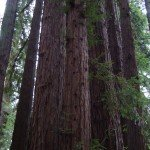 Wordful Wednesday-The California Redwoods